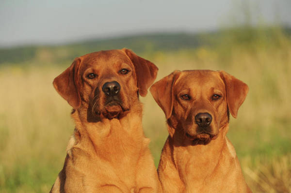 Wall Art - Photograph - Two Labrador Retrievers Yellow Male And Female Animal Portrait Austria by imageBROKER - Anni Sommer