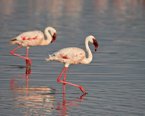 Wall Art - Photograph - Two Lesser Flamingo Phoeniconaias by James Hager / Robertharding