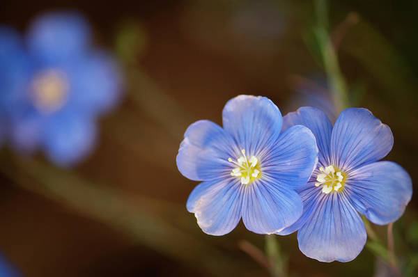Rockville Photograph - Two Light Blue Flax Flowers Linum by Maria Mosolova