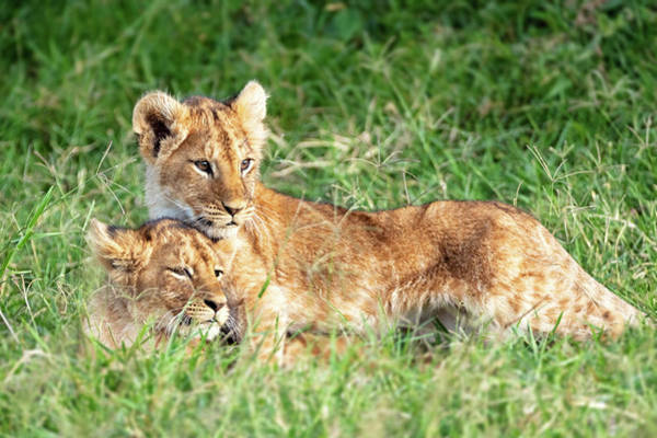 Wall Art - Photograph - Two Lion Cubs Snuggling In Africa by Susan Schmitz