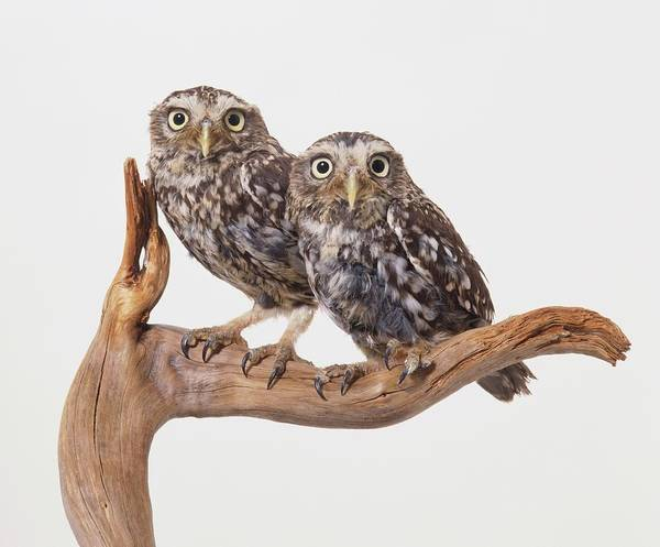 Little People Photograph - Two Little Owls, Athene Noctua, Perched by Dave King