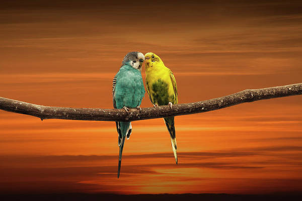 Wall Art - Photograph - Two Love Bird Parakeets  Perched Out On A Tree Branch At Sunset by Randall Nyhof