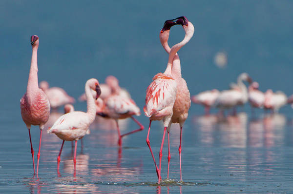Wall Art - Photograph - Two Male Lesser Flamingos by Shem Compion