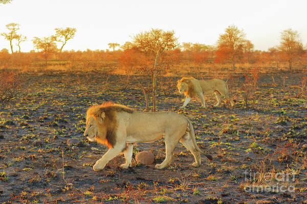 Photograph - Two Male Lions Walking by Benny Marty