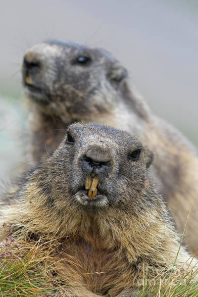 Photograph - Two Marmots by Arterra Picture Library