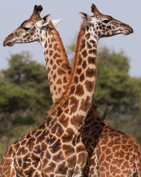 Look Away Photograph - Two Masai Giraffe Looking Away From by Mint Images - Art Wolfe