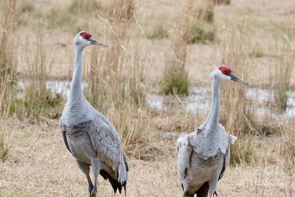 Photograph - Two Migratory Sandhills  by Carol Groenen