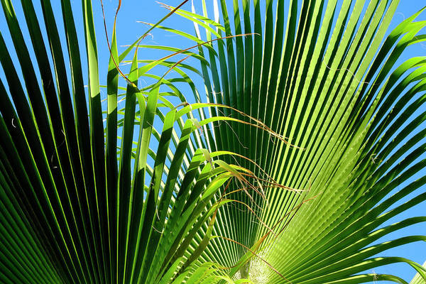 Photograph - Two Palm Leaves by August Timmermans