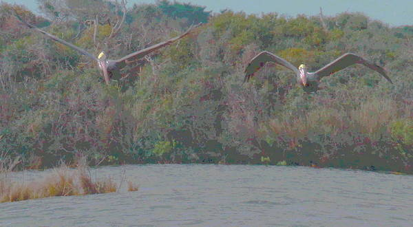 Pelican Island National Wildlife Refuge Wall Art - Photograph - Two Pelicans Flying Over Pea Island 2 by Cathy Lindsey