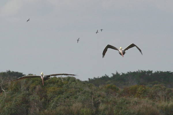 Pelican Island National Wildlife Refuge Wall Art - Photograph - Two Pelicans Flying Over Pea Island 3 by Cathy Lindsey