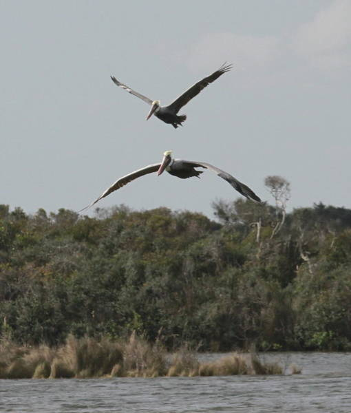 Pelican Island National Wildlife Refuge Wall Art - Photograph - Two Pelicans Flying Over Pea Island 5 by Cathy Lindsey