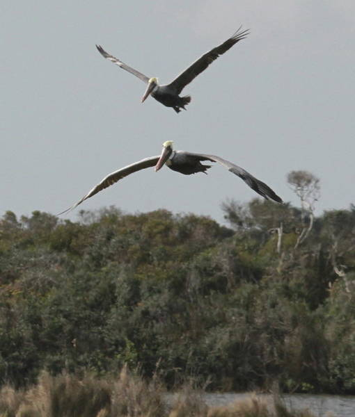 Pelican Island National Wildlife Refuge Wall Art - Photograph - Two Pelicans Flying Over Pea Island 6 by Cathy Lindsey