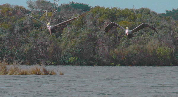 Pelican Island National Wildlife Refuge Wall Art - Photograph - Two Pelicans Flying Over Pea Island by Cathy Lindsey