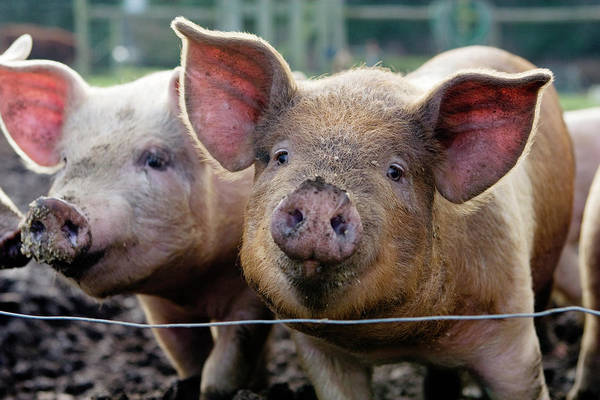 Pig Photograph - Two Pigs On  Farm by Charity Burggraaf