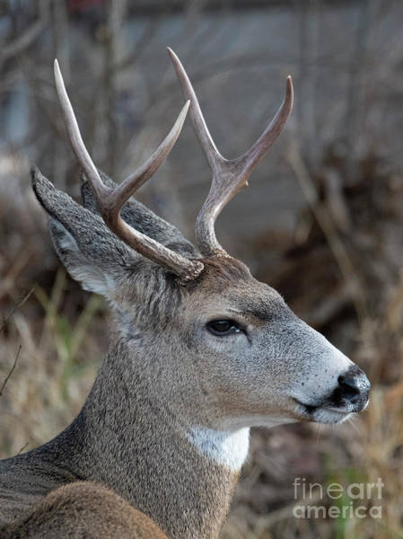 Mule Deer Buck Wall Art - Photograph - Two-point Profile by Mike Dawson