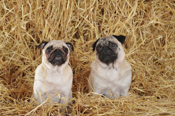 Wall Art - Photograph - Two Pugs Beige Male And Female In The Straw Studio Shot Austria by imageBROKER - Anni Sommer