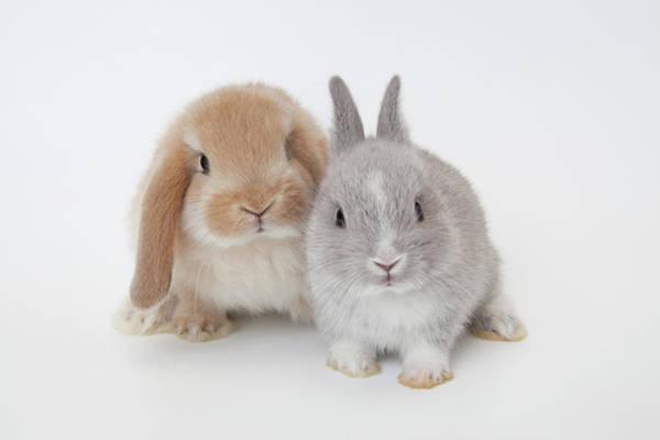 Staring Photograph - Two Rabbits.netherland Dwarf And by Yasuhide Fumoto