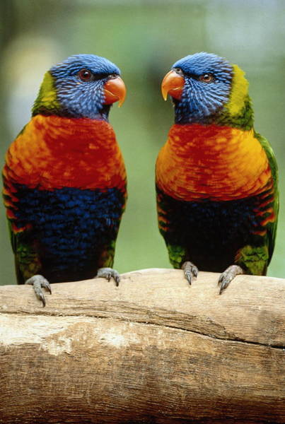 Two Rainbow Lorikeets Psittacus Sp Art Print