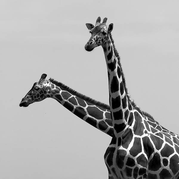 Photograph - Two Reticulated Giraffes by Achim Mittler, Frankfurt Am Main