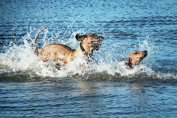 Wall Art - Photograph - Two Rhodesian Ridgeback Having Fun In Water  by Catherine Lau