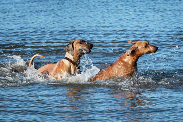 Wall Art - Photograph - Two Rhodesian Ridgeback Playing In Water by Catherine Lau