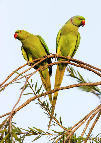 Wall Art - Photograph - Two Rose Ringed Parakeets Psittacula by Panoramic Images