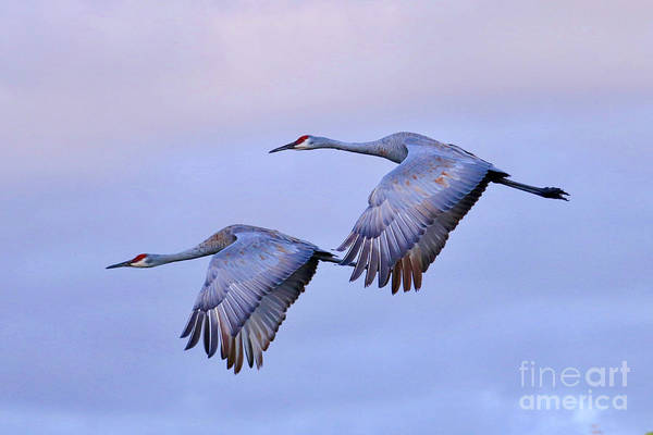 Wall Art - Photograph - Two Sandhills Fly Into The Sunset by Carol Groenen