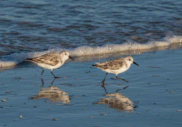 Photograph - Two Sandpipers Feeding by Jeffrey Klug