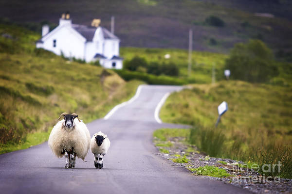 Scottish Highlands Wall Art - Photograph - Two Sheep Walking On Street In Scotland by Otmarw