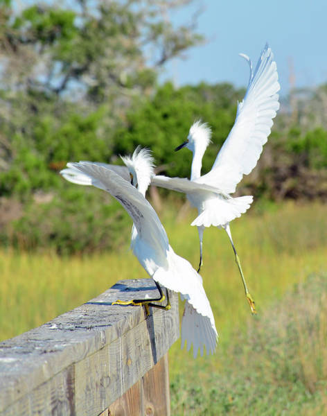 Photograph - Two Snowy Egrets Lifting Off On Jekyll Island by Bruce Gourley