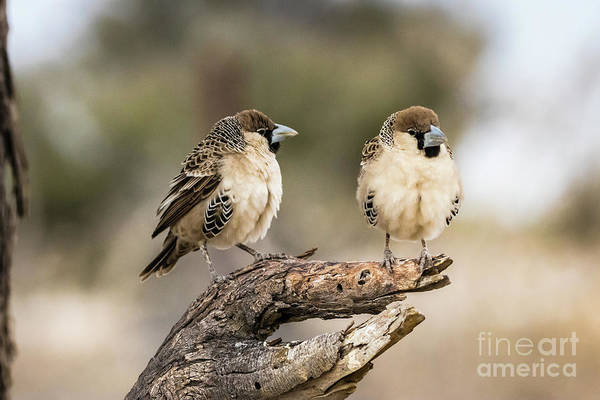 Photograph - Two Sociable Weavers, Namibia by Lyl Dil Creations