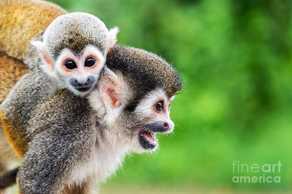 Wall Art - Photograph - Two Squirrel Monkeys, A Mother And Her by Jess Kraft