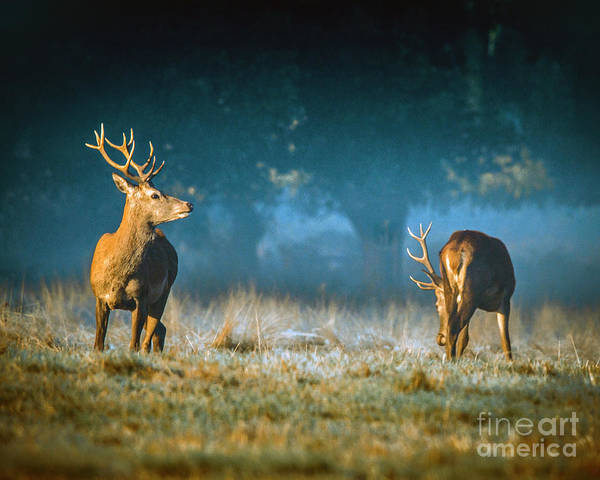 Photograph - Two Stags by Nigel Dudson