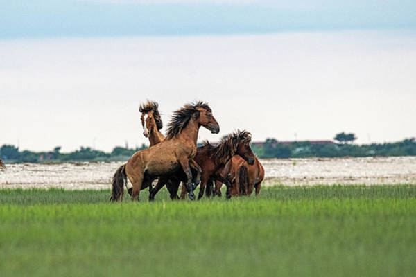 Photograph - Two Stallions Getting Into Fight Over A Mare by Dan Friend