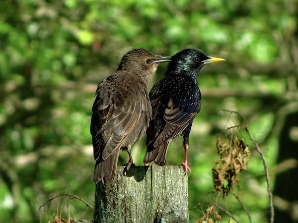 Wall Art - Photograph - Two Starlings Adult And Juvenile by Lyuba Filatova