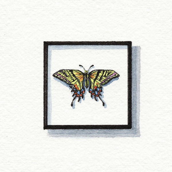 Wall Art - Painting - Two Tailed Swallowtail Papilio Multicaudata Watercolor Butterfly by Irina Sztukowski
