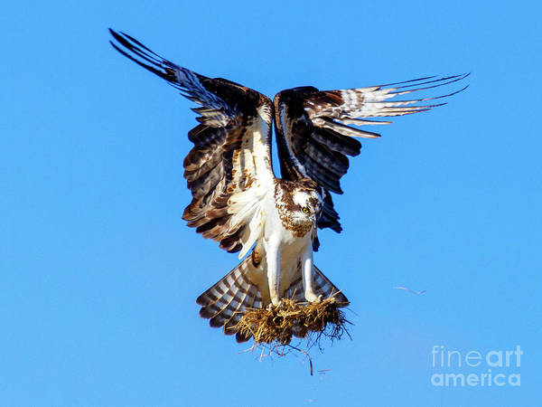 Ospreys Photograph - Two  Talons Full by Mike Dawson
