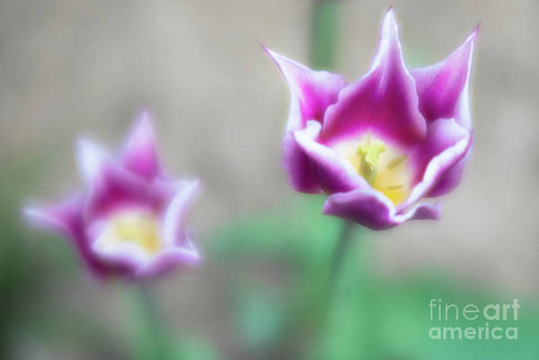 Artsy Photograph - Two-tone Tulips by DiFigiano Photography