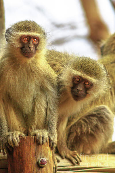 Photograph - Two Vervet Monkey by Benny Marty