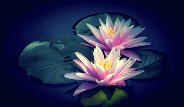 Photograph - Two Water Lilies In Pink by Julie Palencia