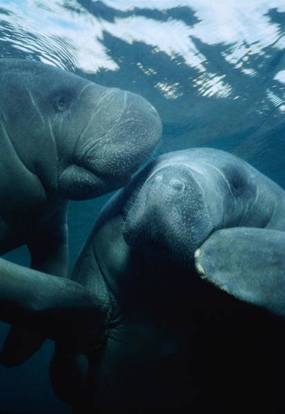 Manatee Photograph - Two West Indian Manatees Trichechus by Dr & Tl Schrichte