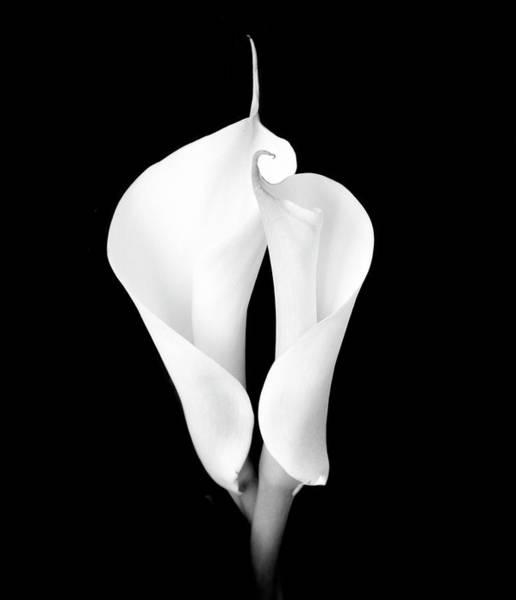 Calla Photograph - Two White Calla Lilies by Eversofine