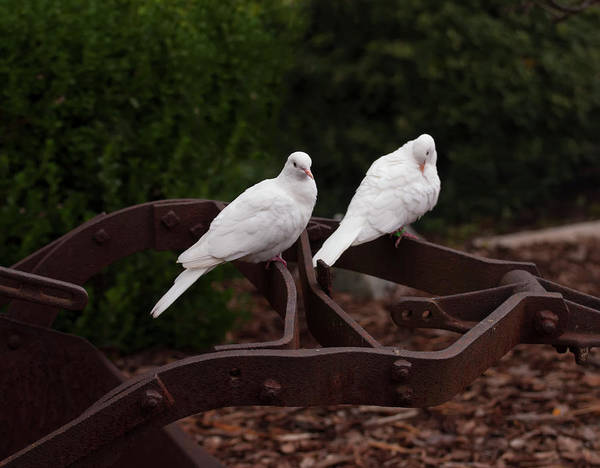 Photograph - Two White Doves On Farm Equiptment 001 by Chris Flees