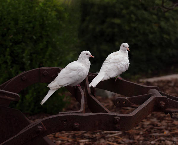 Photograph - Two White Doves On Farm Equiptment 002 by Chris Flees