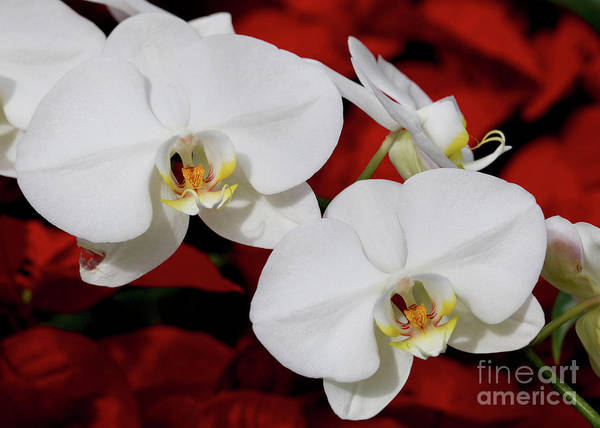 Photograph - Two White Orchids In Red by Carol Groenen