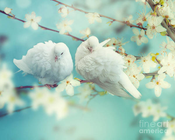 Wall Art - Photograph - Two White Pigeon On Flowering by Igoraleks