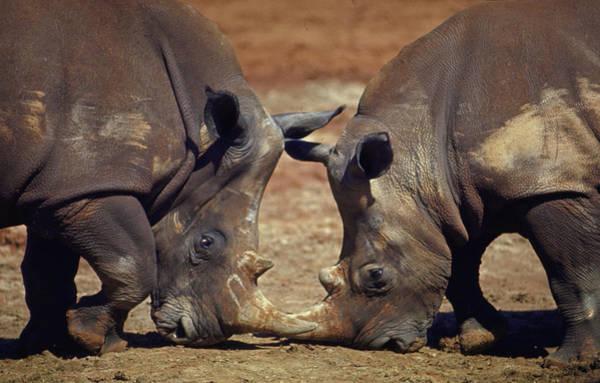 Two White Rhinocheros Fr. Zululand Art Print by Nina Leen