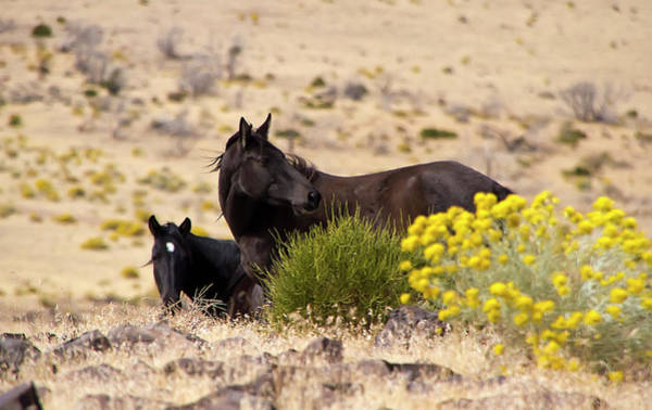 Photograph - Two Wild Black Horses Among Yellow Flowers by Waterdancer