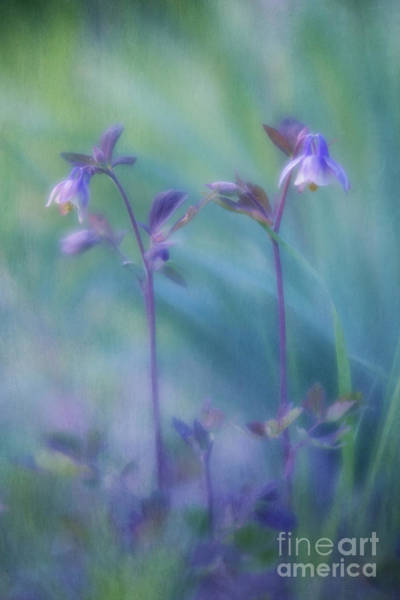 Wall Art - Photograph - Two Wild Columbines by Priska Wettstein