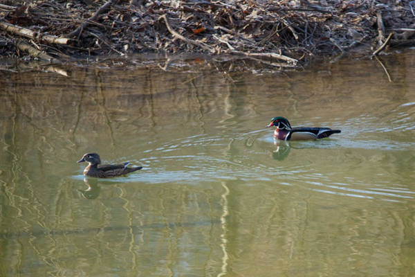 Photograph - Two Wood Ducks Female And Male Swimming  by Dan Friend
